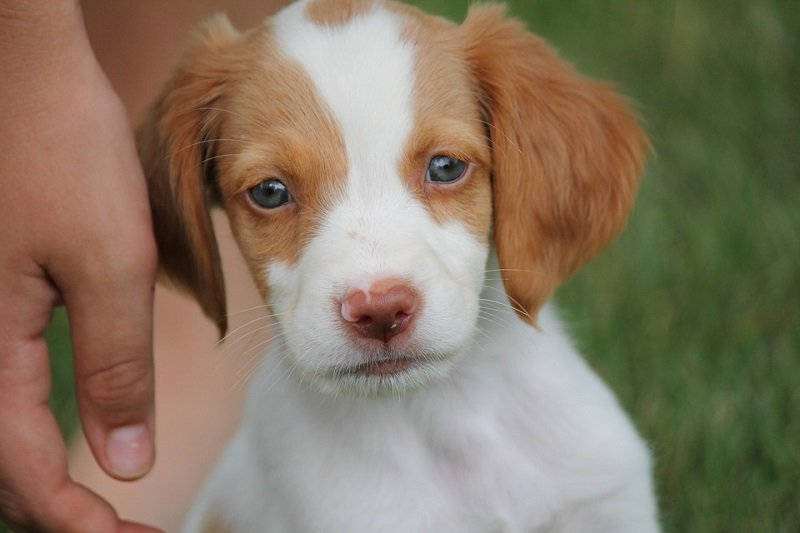 Brittany Spaniel puppy with beautiful hazel eyes