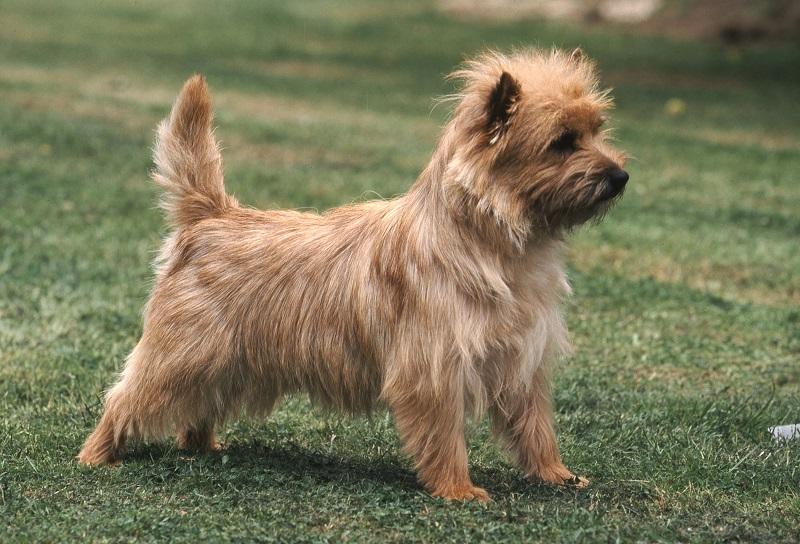 Cairn Terrier standing guard on lawn