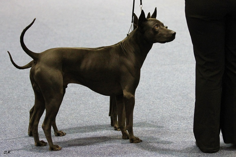 a pair of Thai ridgebacks