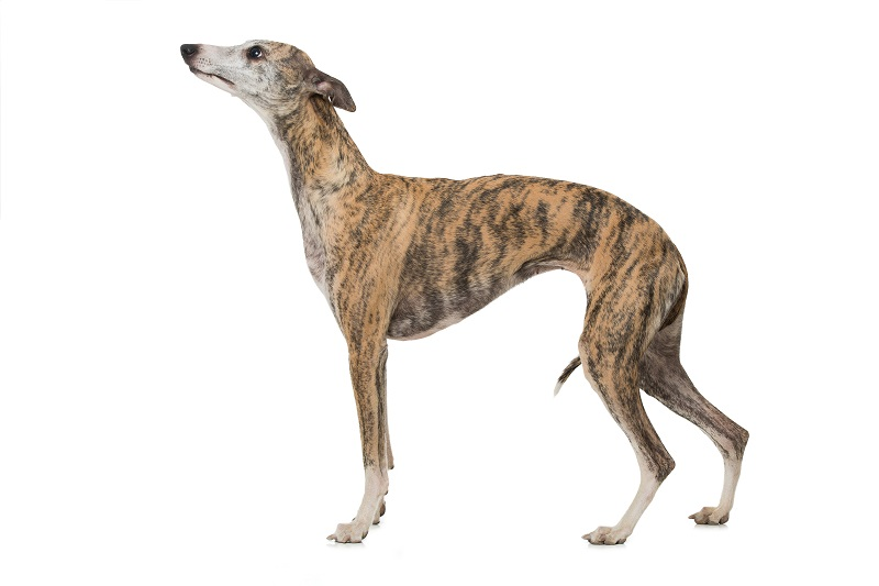 brown whippet dog