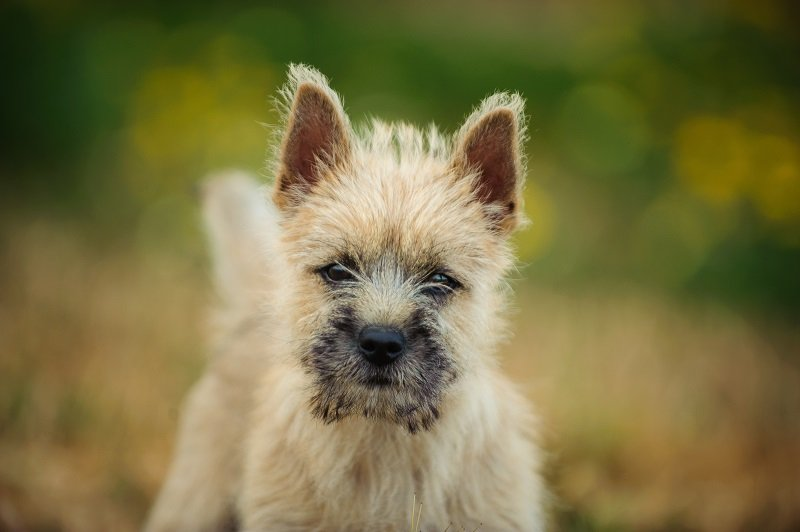 Portrait of Cairn Terrier puppy in field with yellow flowers