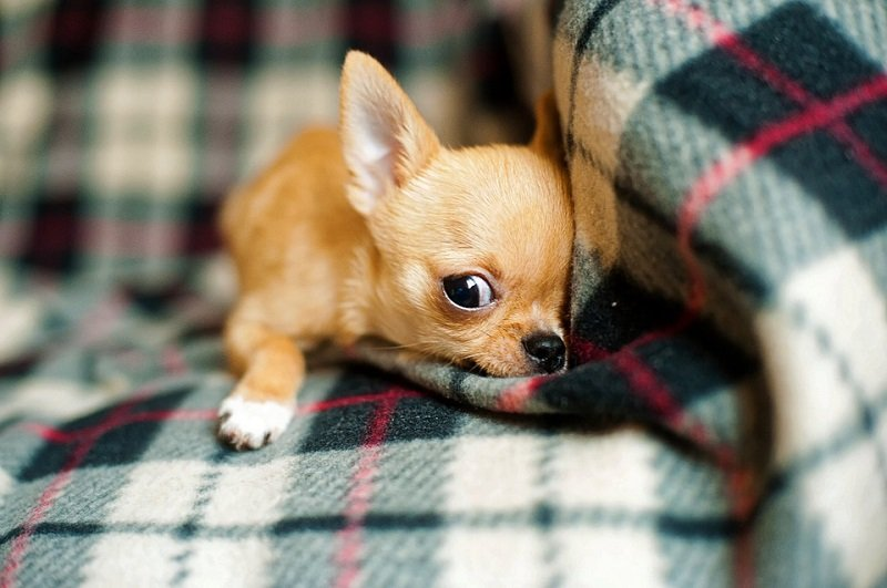Chihuahua puppy in a blanket