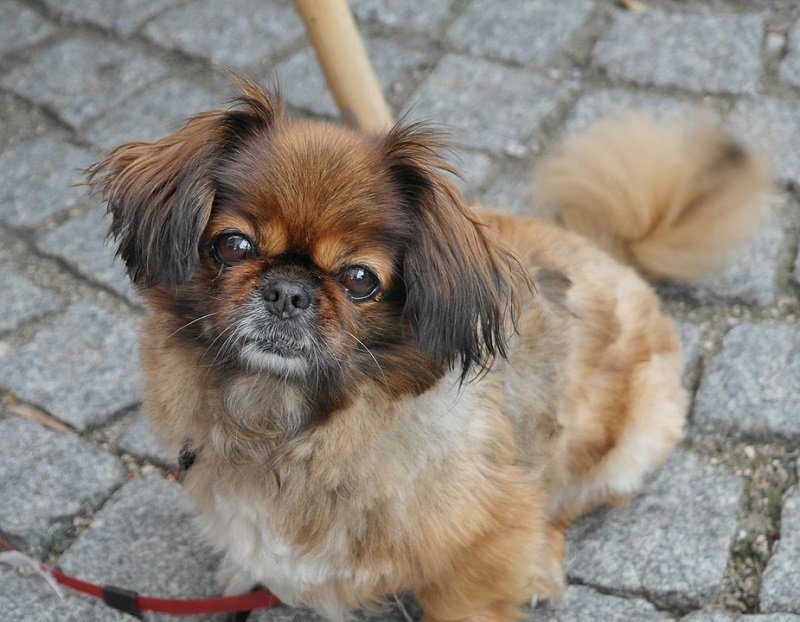 brown-pekingese-puppy on leash
