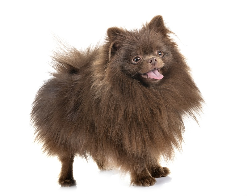 Brown Pomeranian dog on white background
