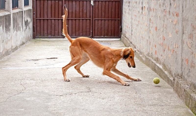 brown saluki plays with a ball