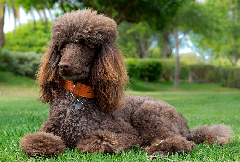 Brown Standard Poodle lying on grass