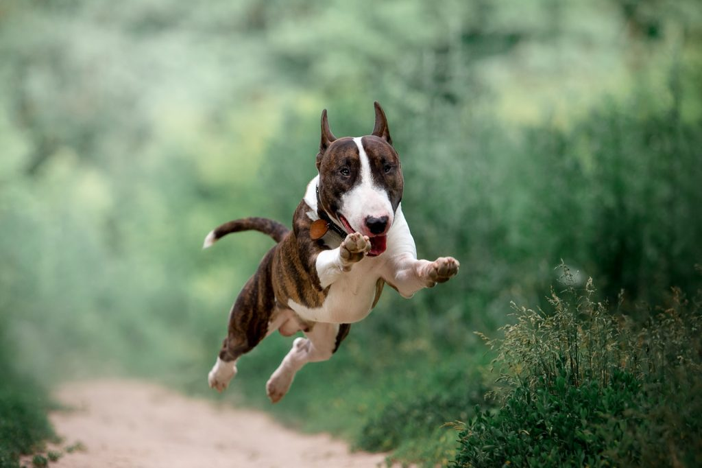 Bull Terrier running and jumping in forest