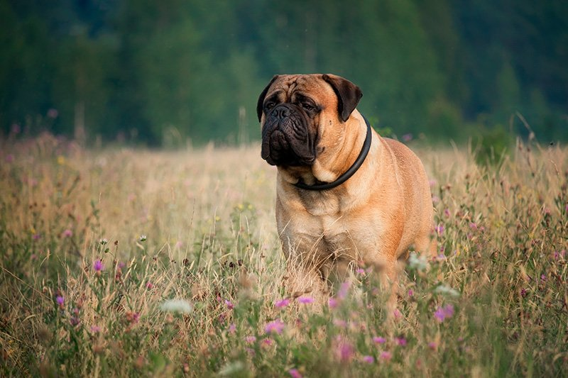 Bullmastiff standing in field