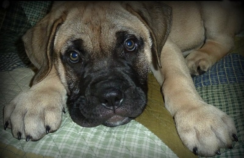 brown bullmastiff puppy