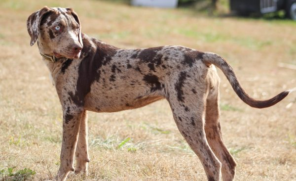catahoula cur catahoula leopard dog puppies