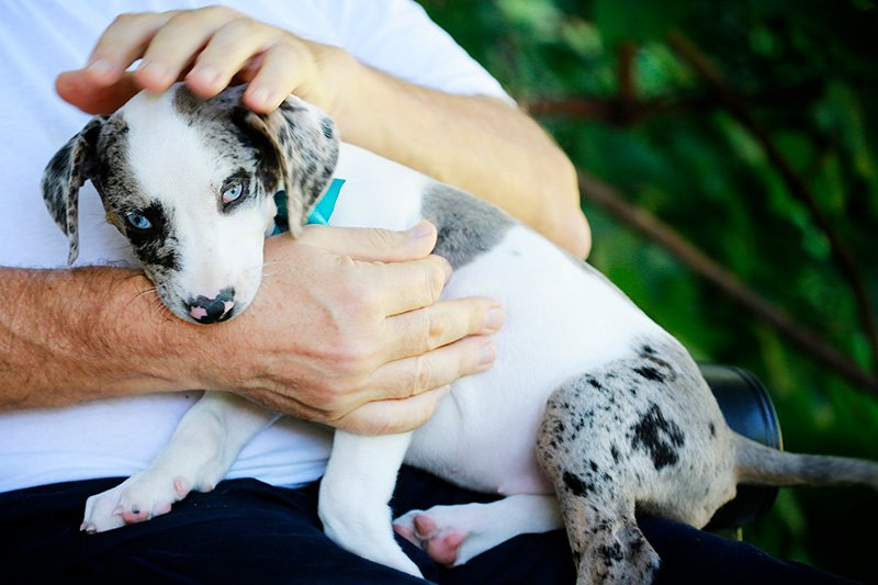 Man holding Catahoula Leopard puppy