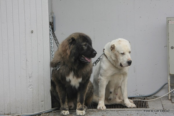 Two dogs in chains, one of them a Caucasian Shepherd