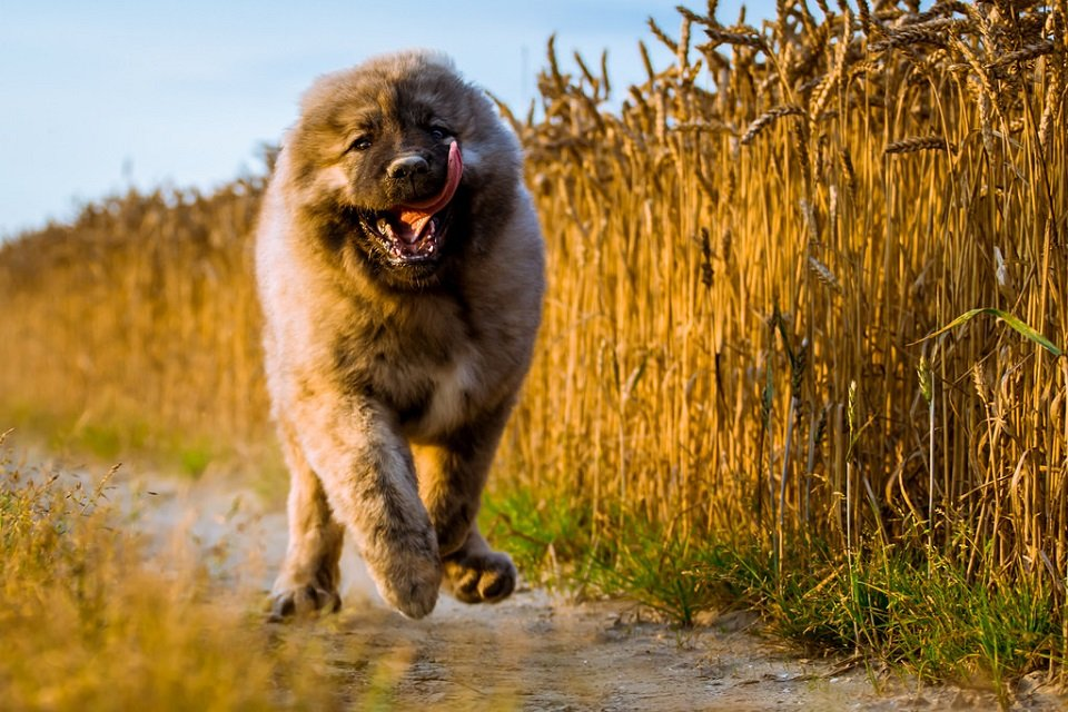 Caucasian Shepherd running in crop field