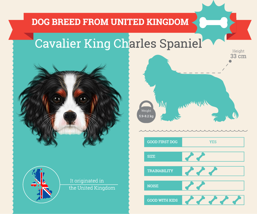 Cavalier King Charles Spaniel infographic