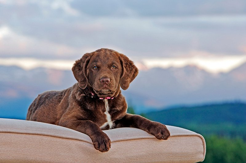 Cute Chesapeake Bay Retriever puppy lying on a deckchair