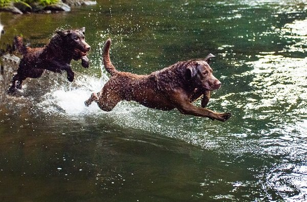 Two Chesapeake Bay Retrievers running in water