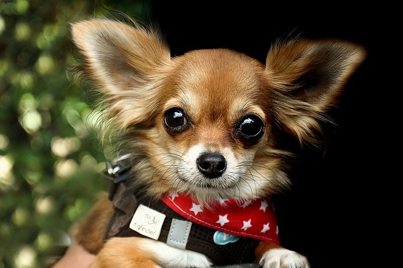 Chihuahua wearing a red collar with white stars