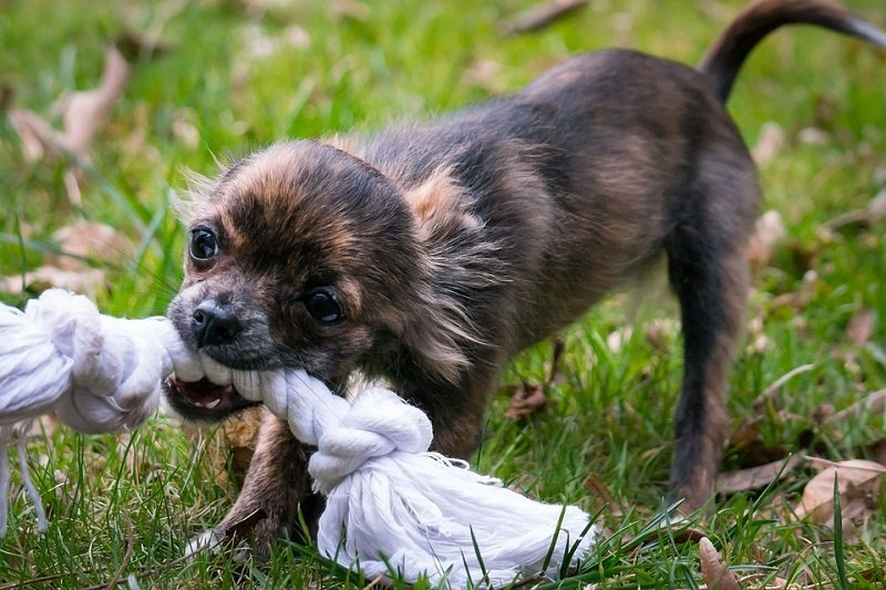 Chihuahua biting a rope toy
