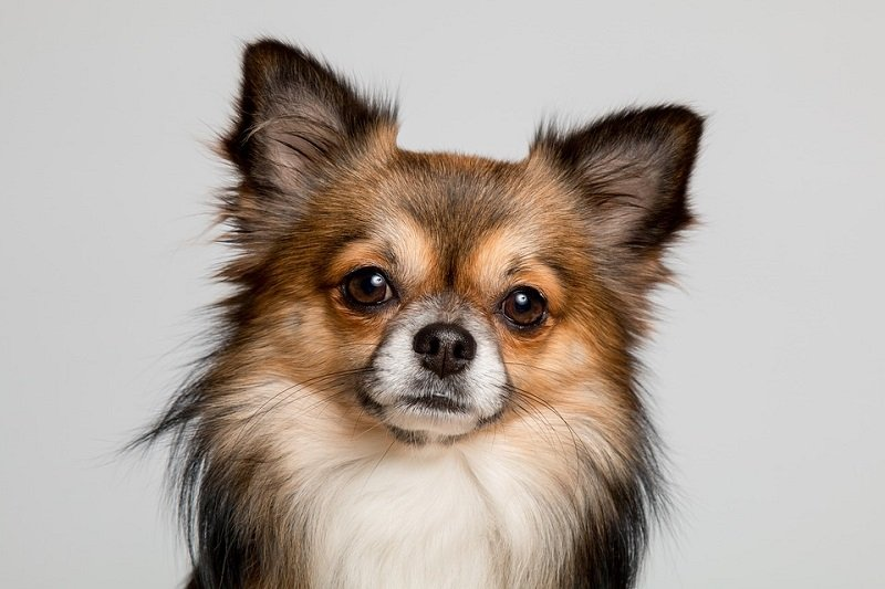 Black brown and white Chihuahua with long hair
