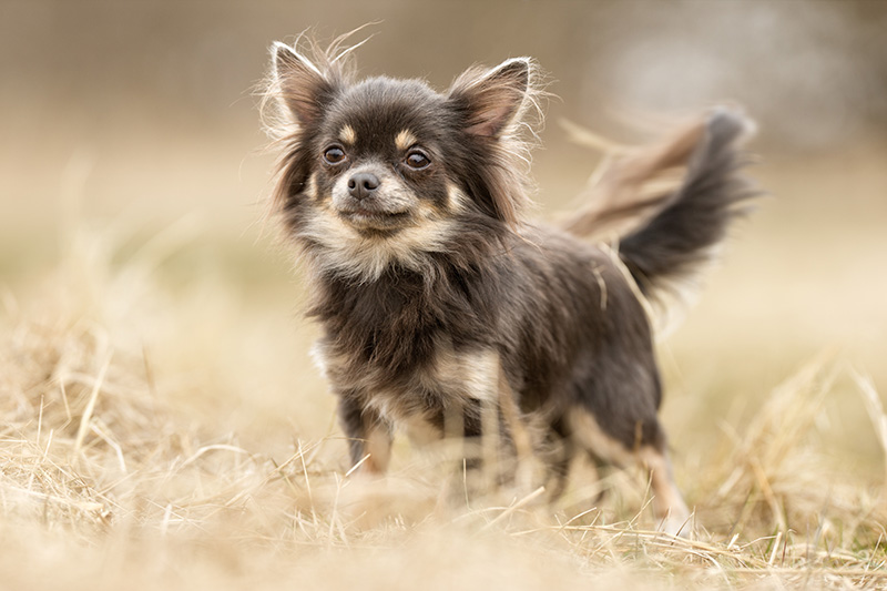 Chihuahua dog standing on dry grass