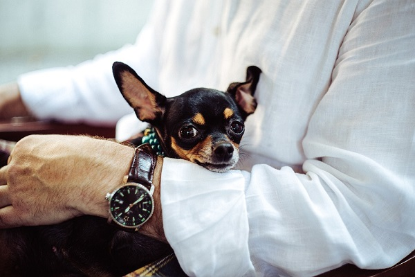 chihuahua good companion dog for seniors and retirees
