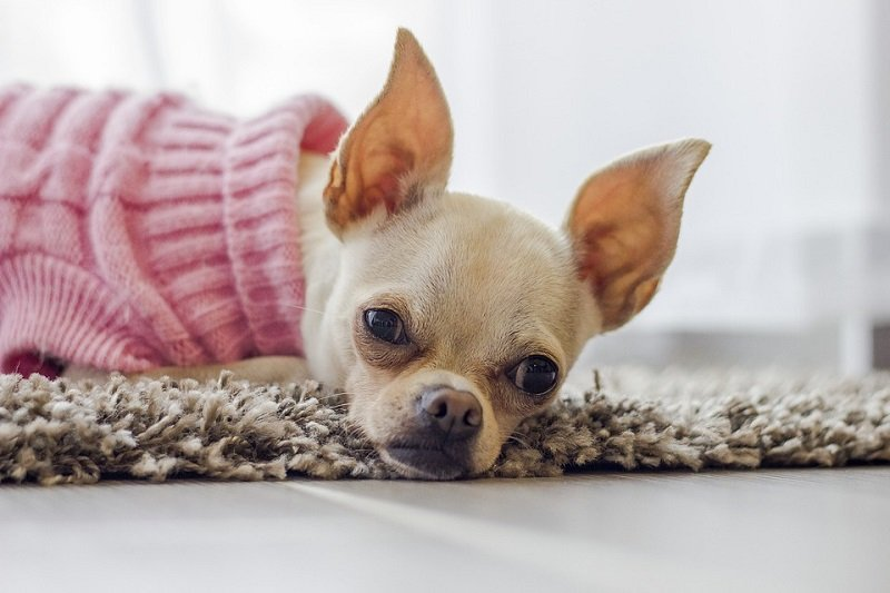 Chihuahua with a pink sweater