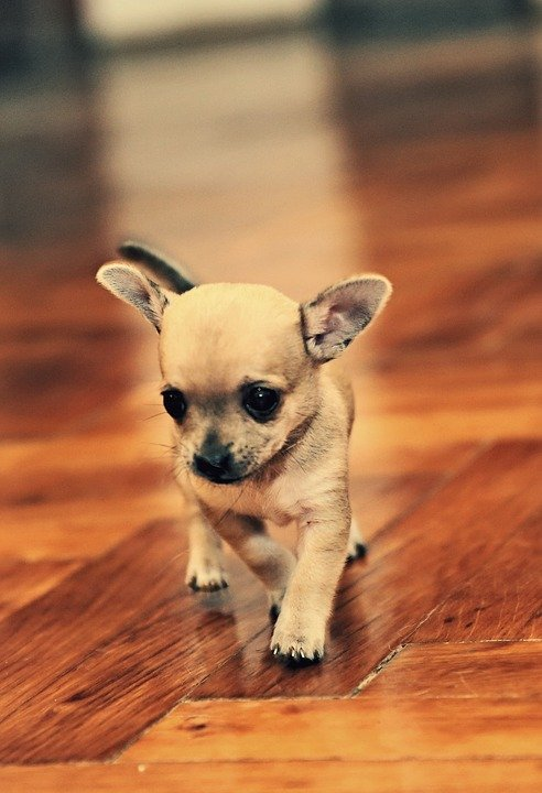 Chihuahua puppy walking on wooden floor