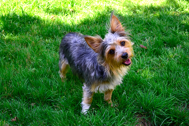 Chihuahua Yorkshire Terrier mix standing on grass