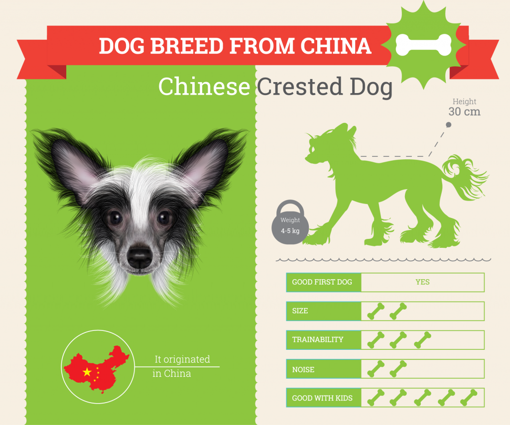 Chinese Crested dog infographic