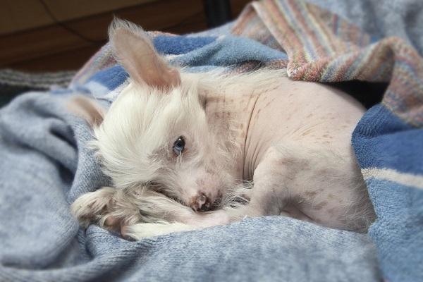 chinese crested is a small lazy inactive dog breed that don't shed