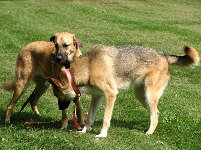 Chinook and German Shepherd on grass
