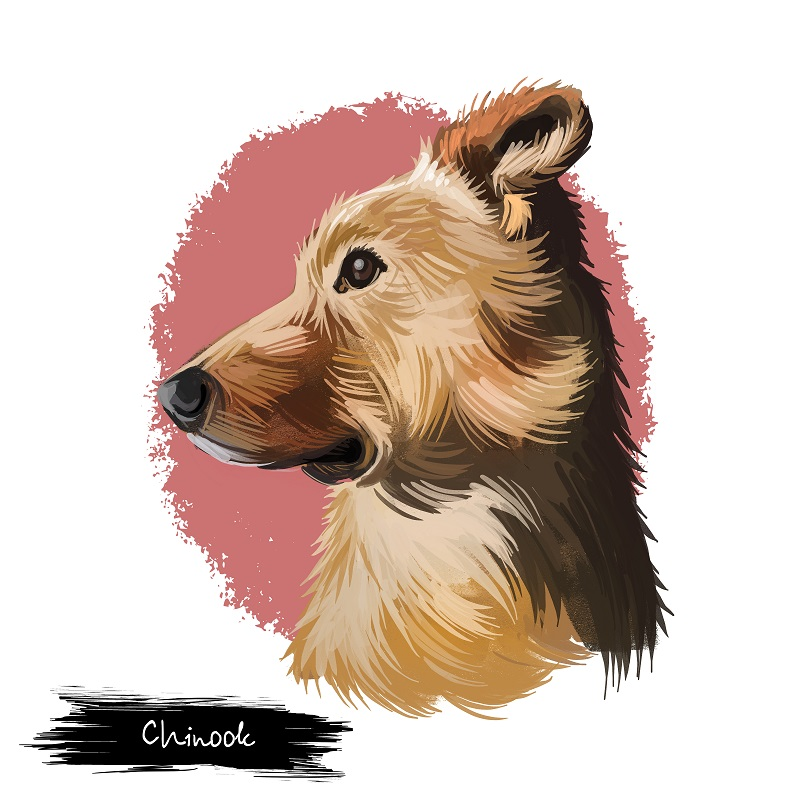 chinook dog breed sketch profile