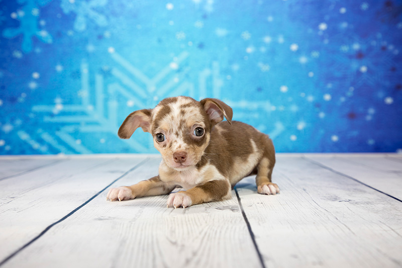 Chiweenie puppy with snowflake background