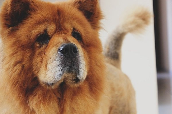 chow chow aggressive dog breeds