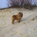 Chow chow dog on the beach