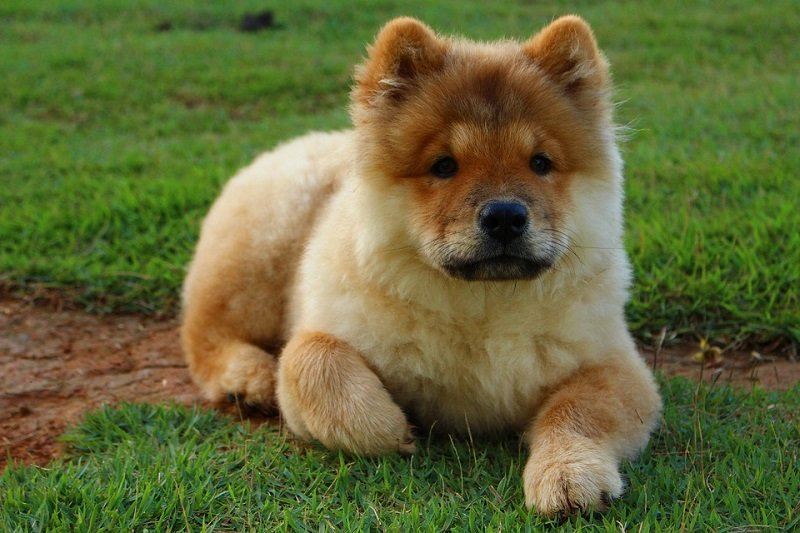 Chow Chow puppy lying on grass