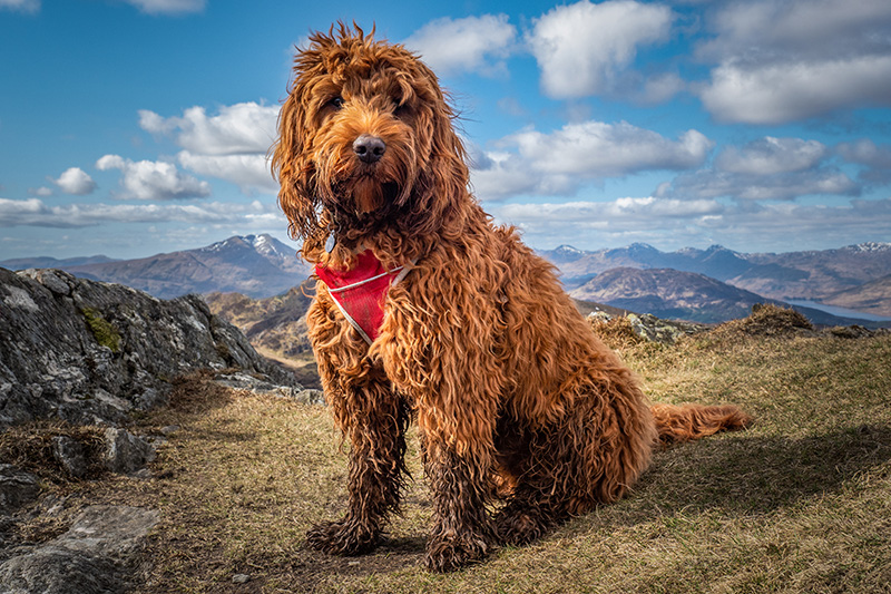 Cockapoo on top of a mountain