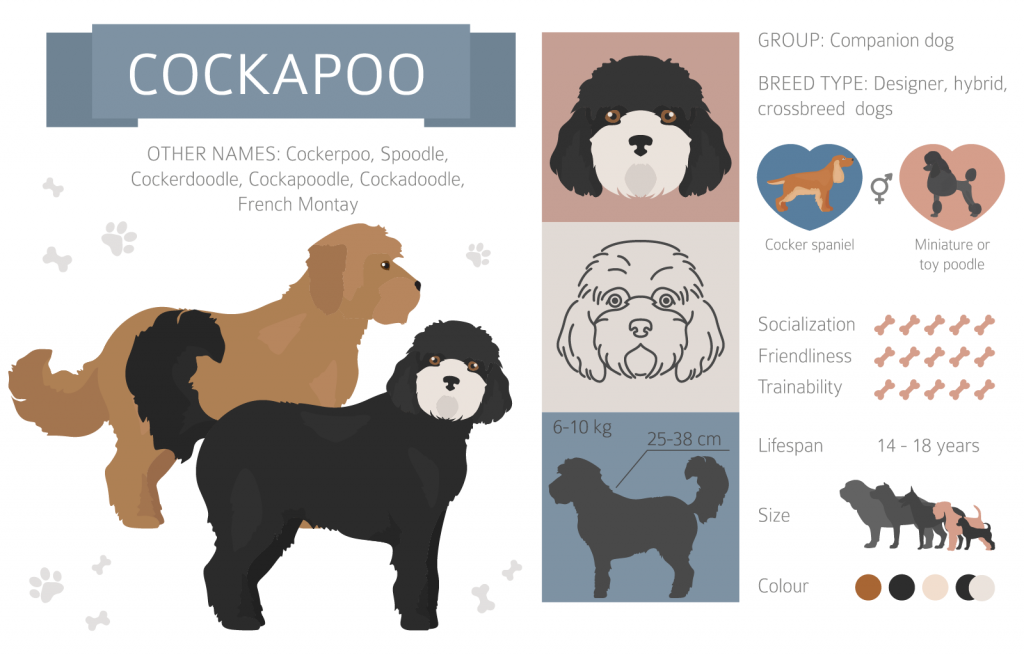 Cockapoo infographic