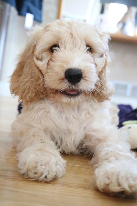 best names for cockapoo