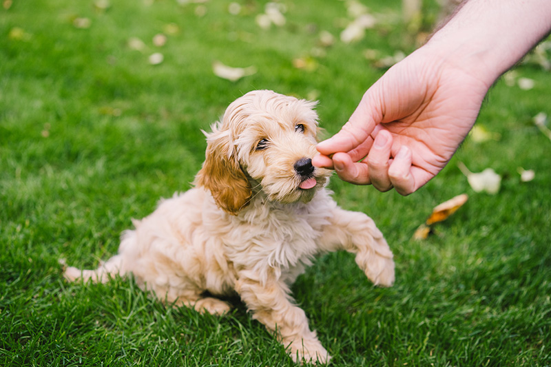 Cute golden Cockapoo playing in garden