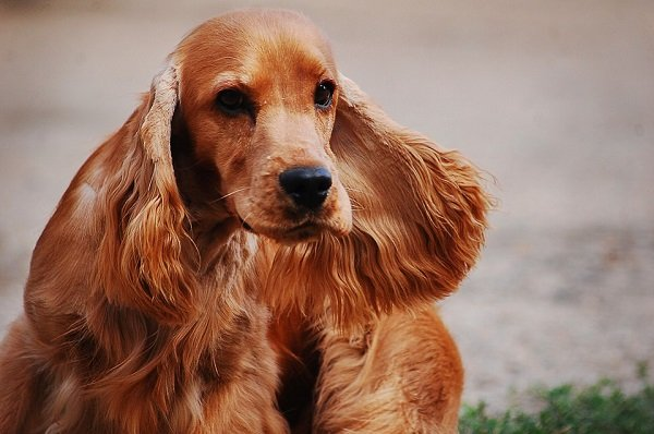 cocker-spaniel dog breeds for hunting and retriever