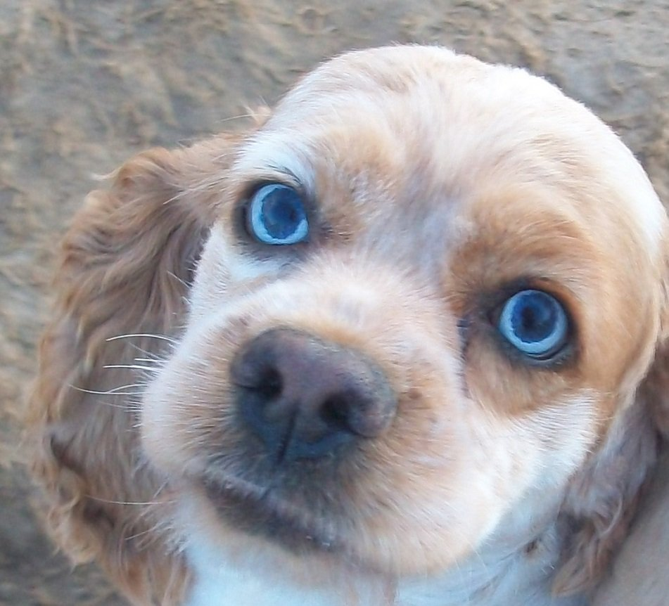 cocker spaniel merle coated blue eyes