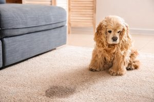 cute cocker spaniel on the rug