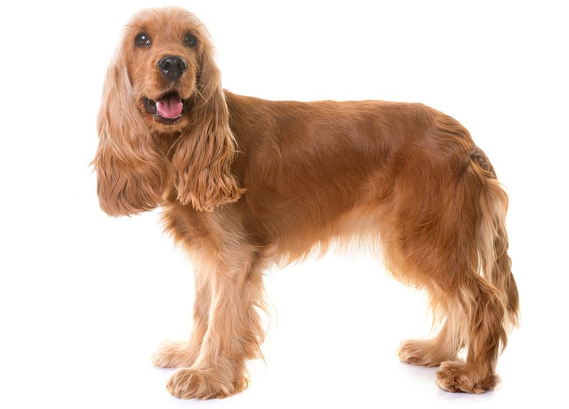 Cocker Spaniel isolated on white background