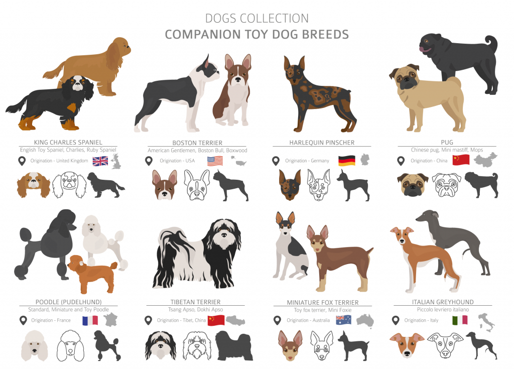 Illustration of companion toy dog breeds