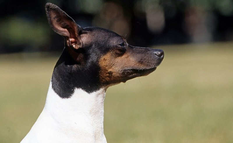 head shot of a toy fox terrier with white and black coat