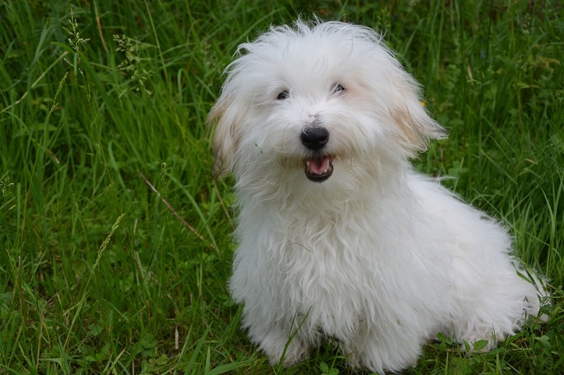 coton-de-tulear dog breeds that are easy to train
