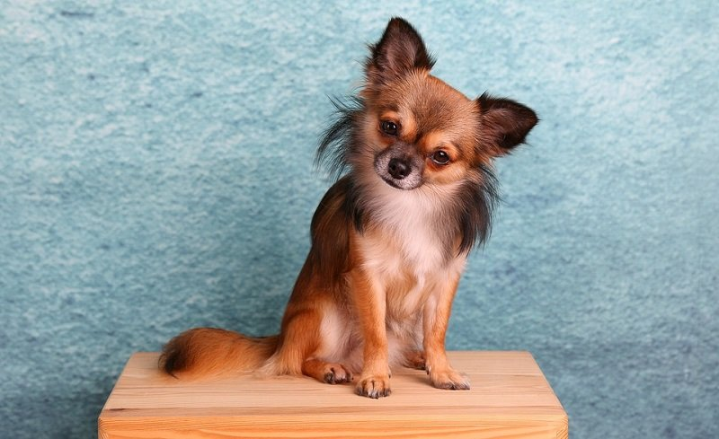 an alert and curious Chihuahua sits on a table