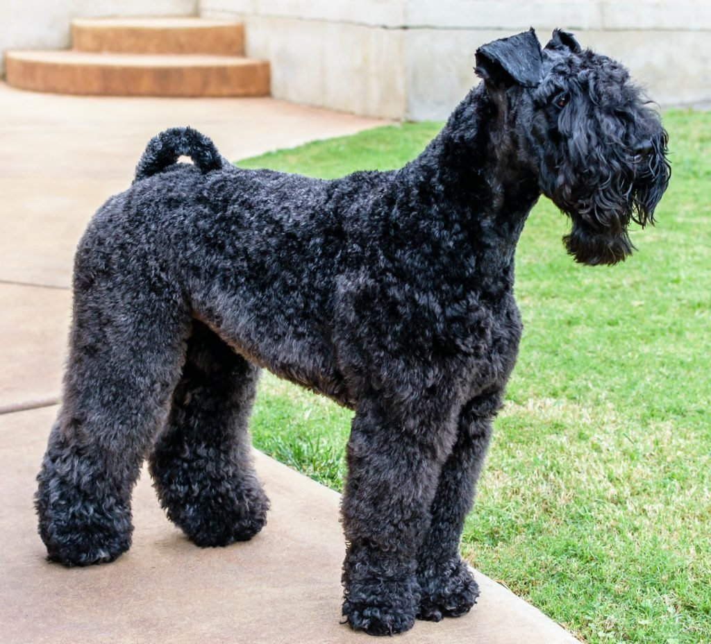 Curly Black Kerry Blue Terrier standing on patio