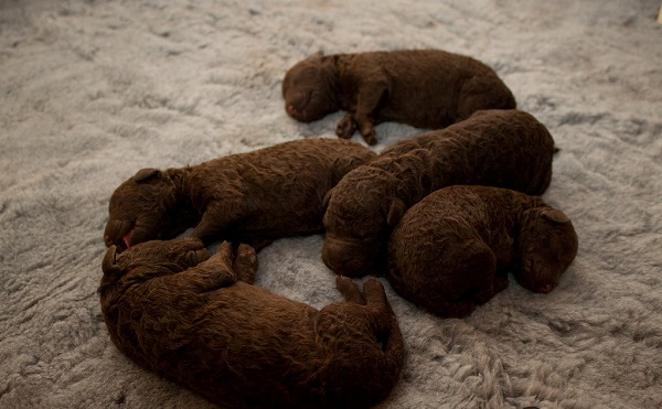 curly coated retriever puppies for sale